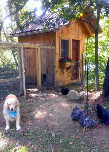 Raising chicks for fresh eggs