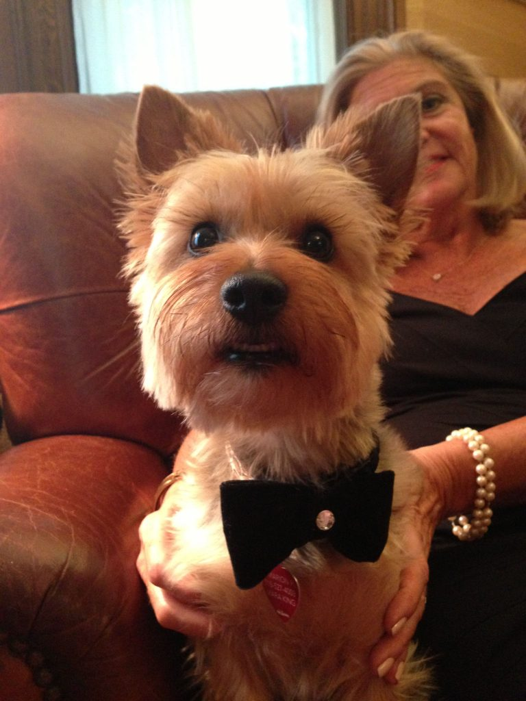 mara-king-harry-silky-terrier