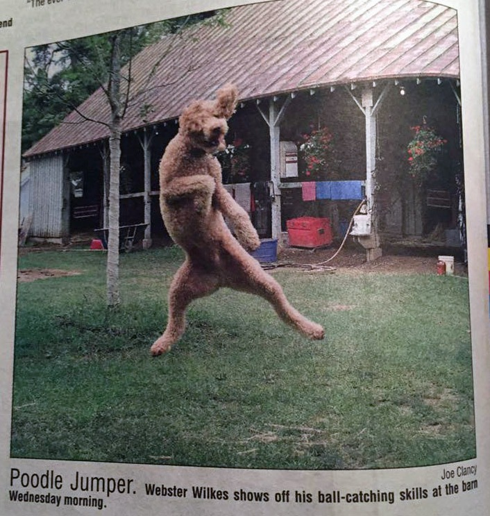 Jane's poodle, Webster (Mehan) pictured at the track in the local paper