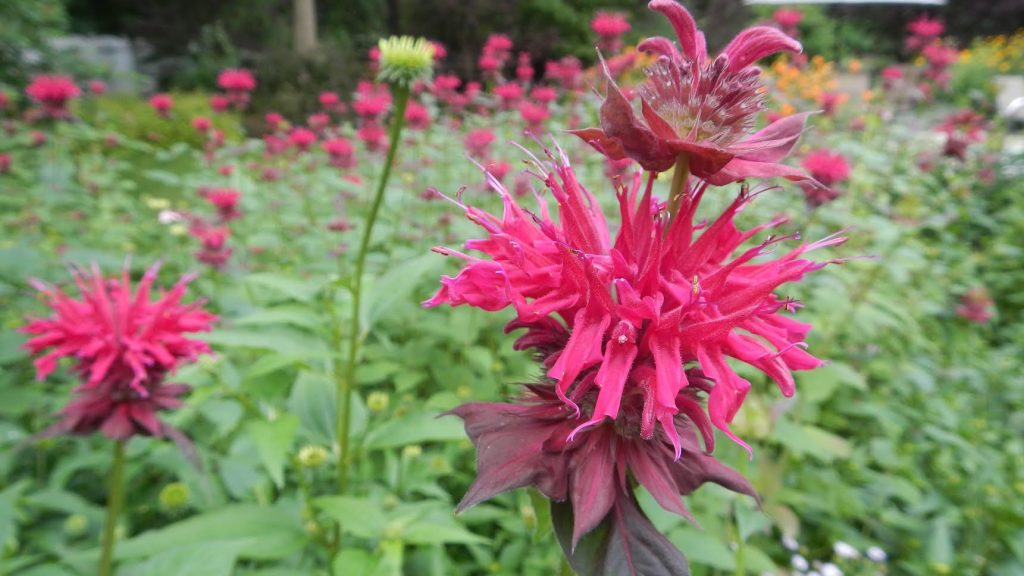 Bee Balm in full bloom - Saratoga gardening tips from Roohan realtor Megan Alexander
