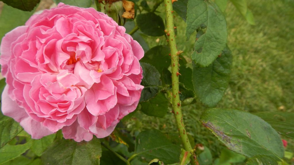 David Austin roses are the newest addition to the gardens at Country House - Saratoga gardening tips from Roohan realtor Megan Alexander